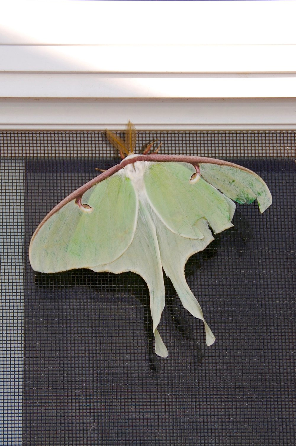 luna moth big green moth