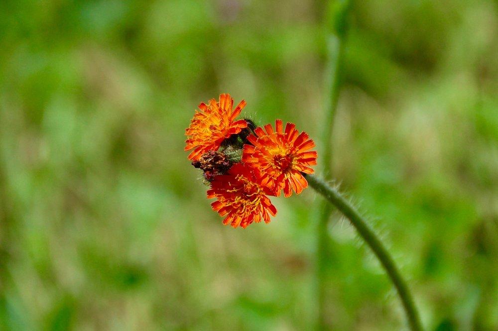 Hieracium or hawkweed