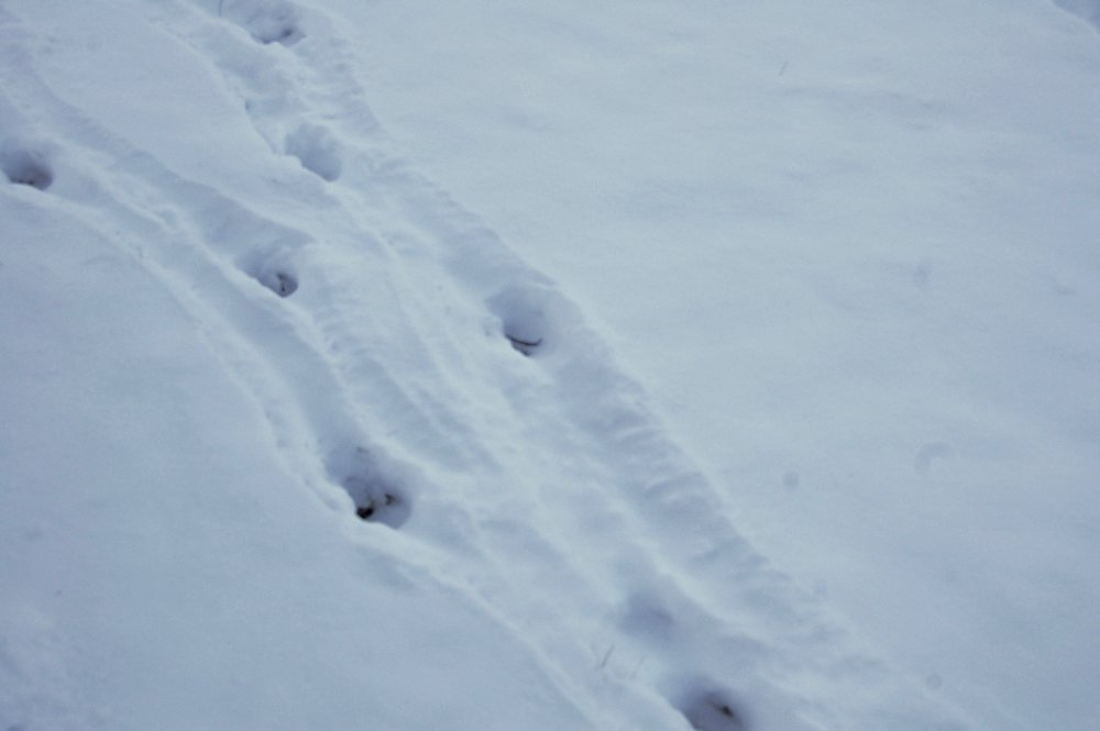 deer tracks in the snow