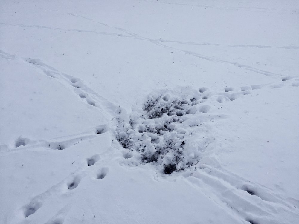 Animal tracks coming together in the snow