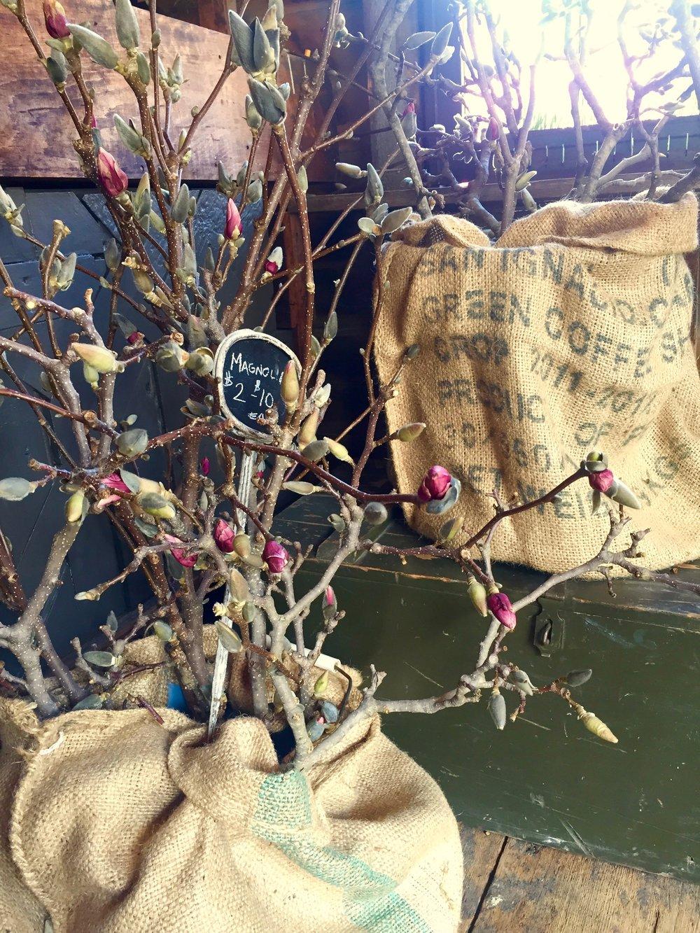 magnolia burlap hort and pott