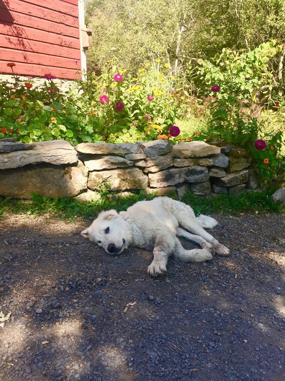 maremma italian sheep dog breeder ny
