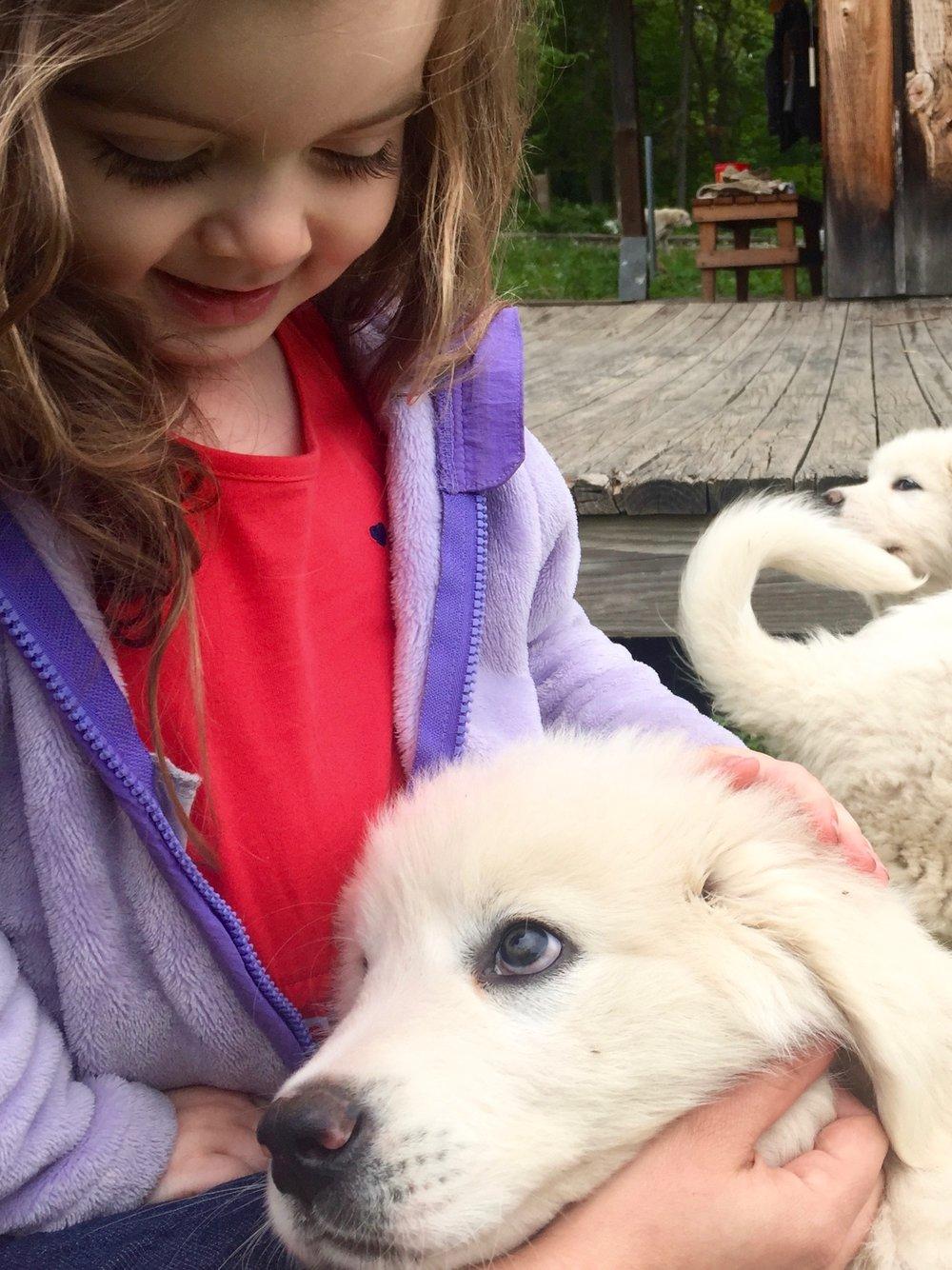 italian sheepdog puppy maremma