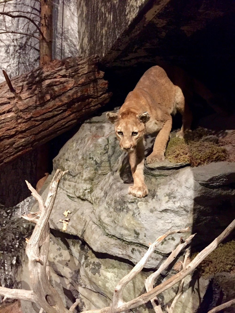 Mountain lion Catskill Mountains
