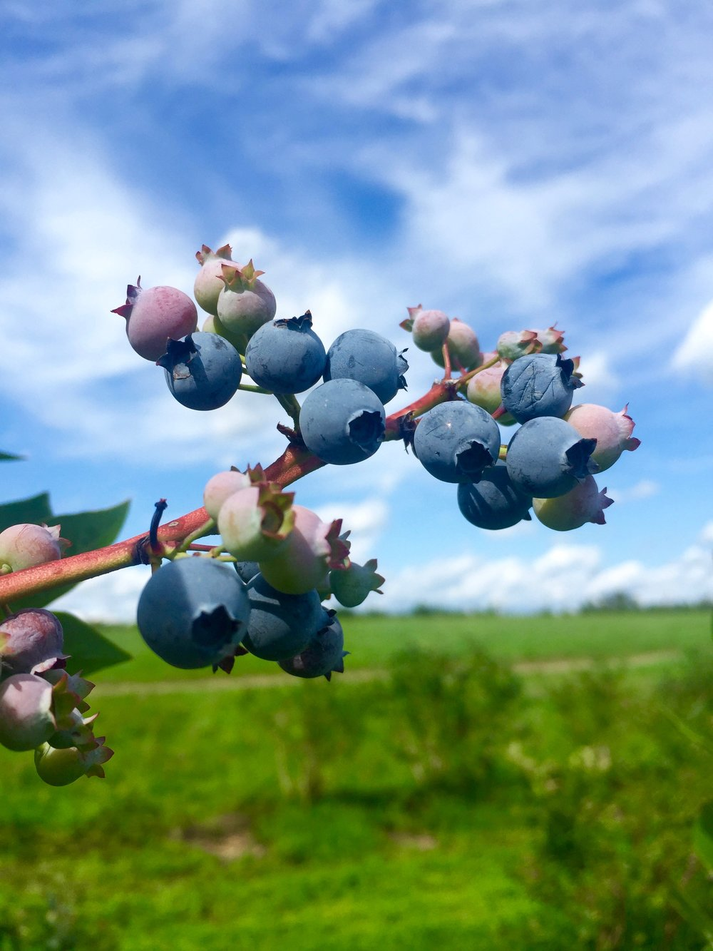 Pick your own blueberries at Indian Ladder Farms