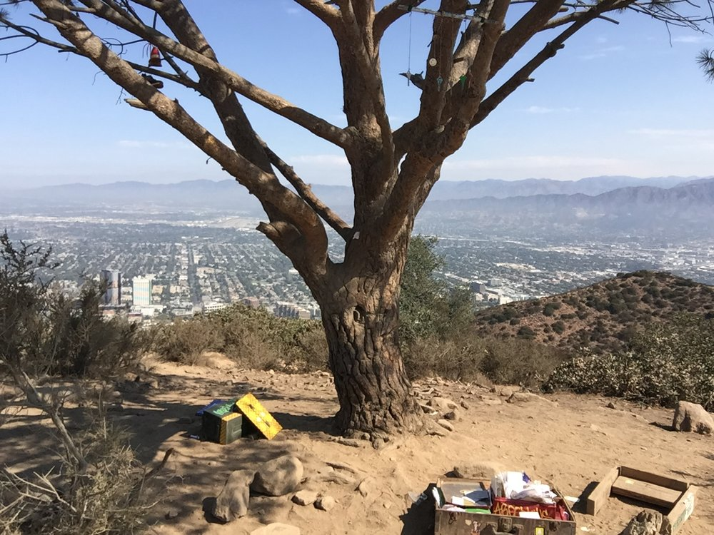 Wisdom Tree at Cahuenga Peak
