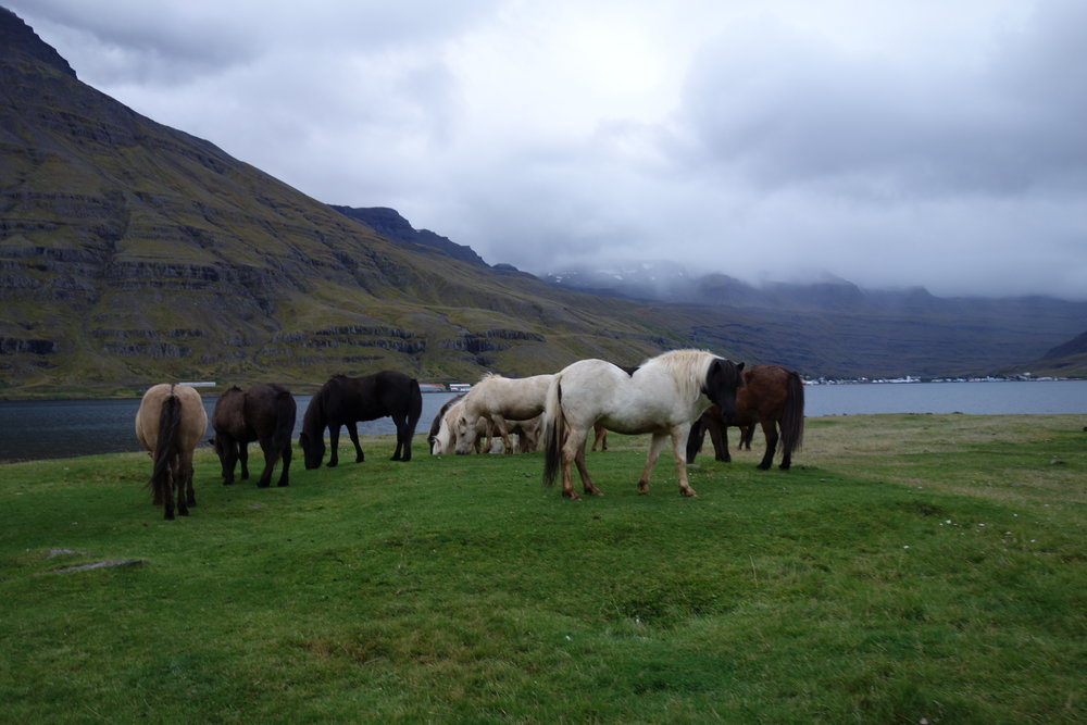 With the sheeps herded to farms, the valleys are left to the Icelandic Ponies.