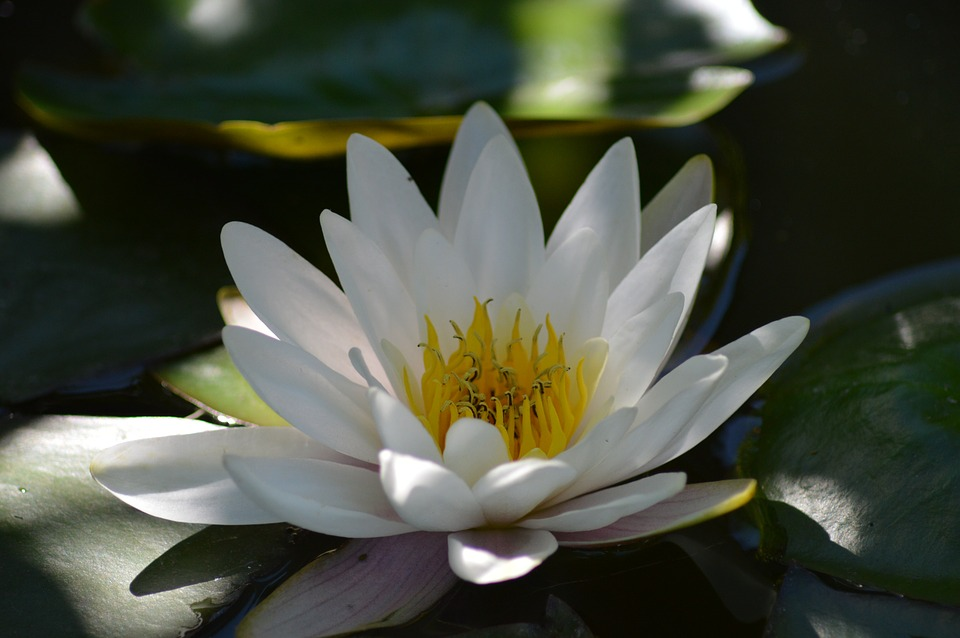 water-lily-5.jpg