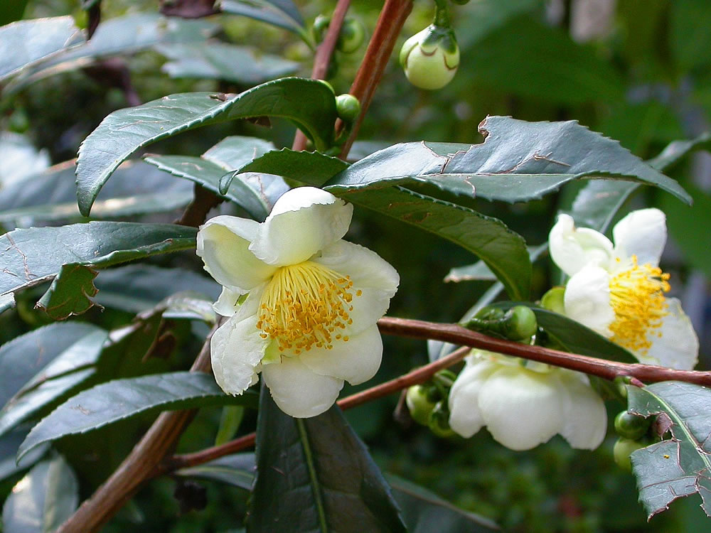 Tea plant blossoms