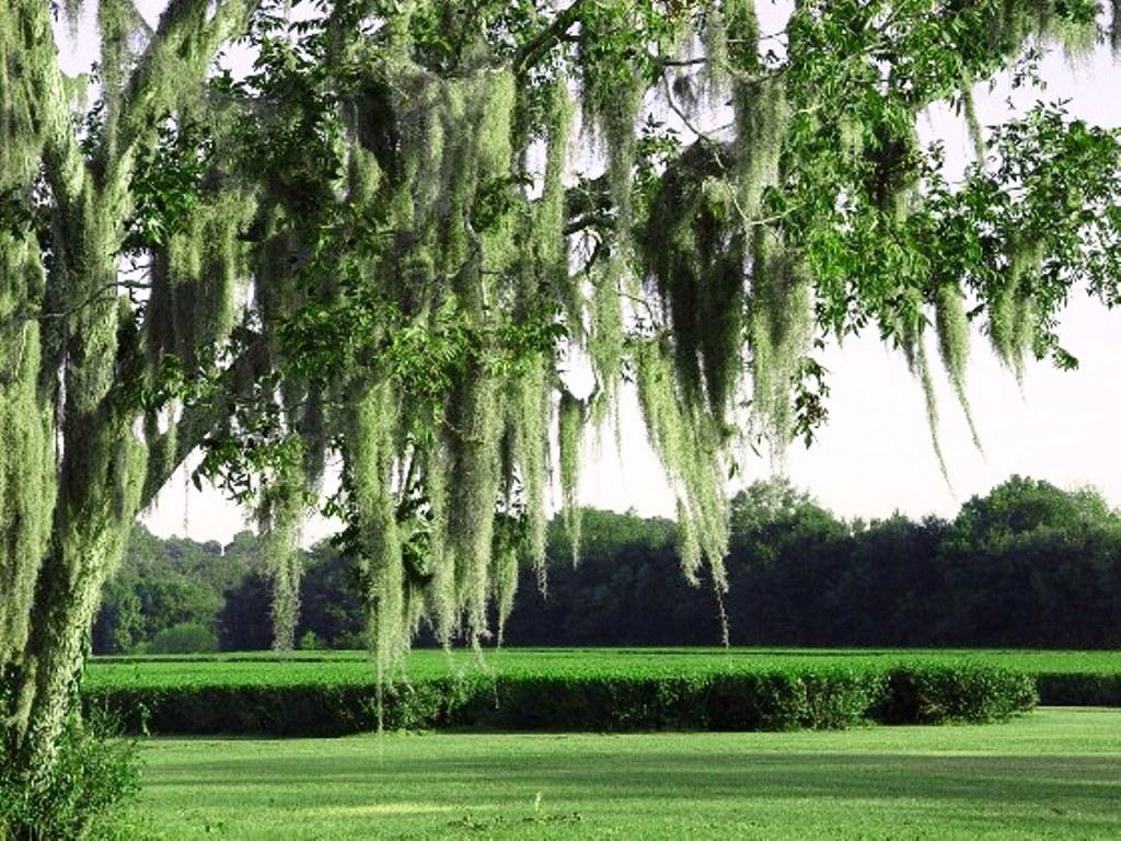 Image result for charleston tea plantation