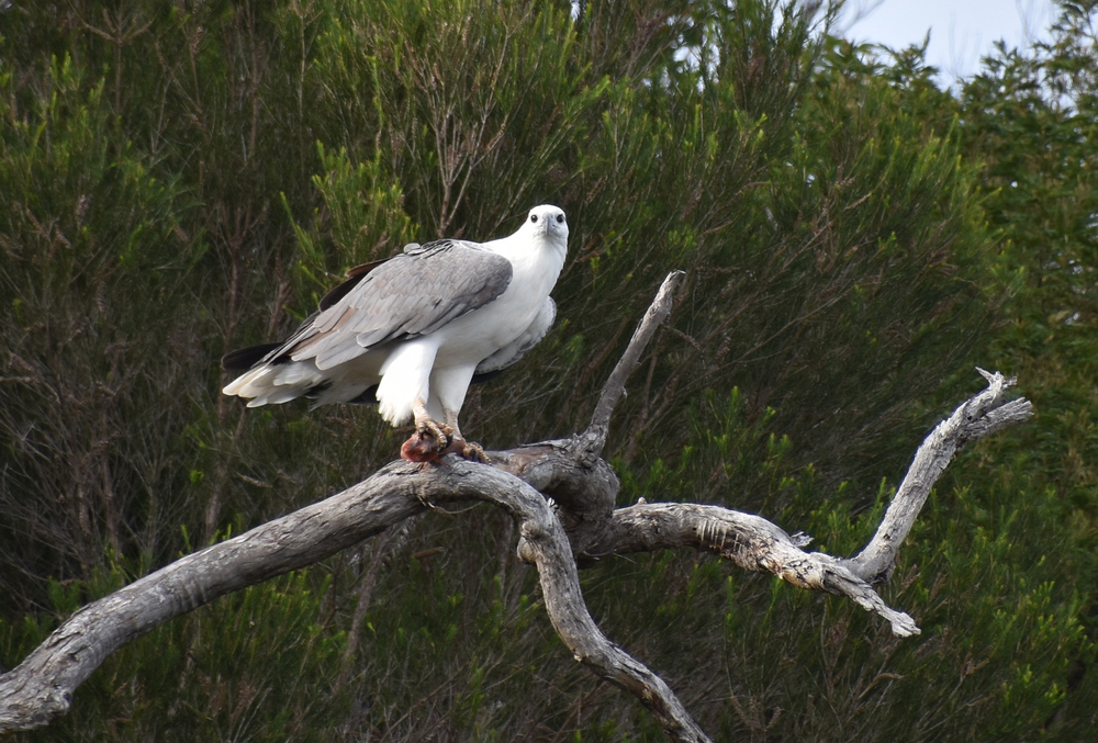 White Bellied Sea Eagle Mallaccota 2.  Photo courtesy of Janet Hubbard.JPG