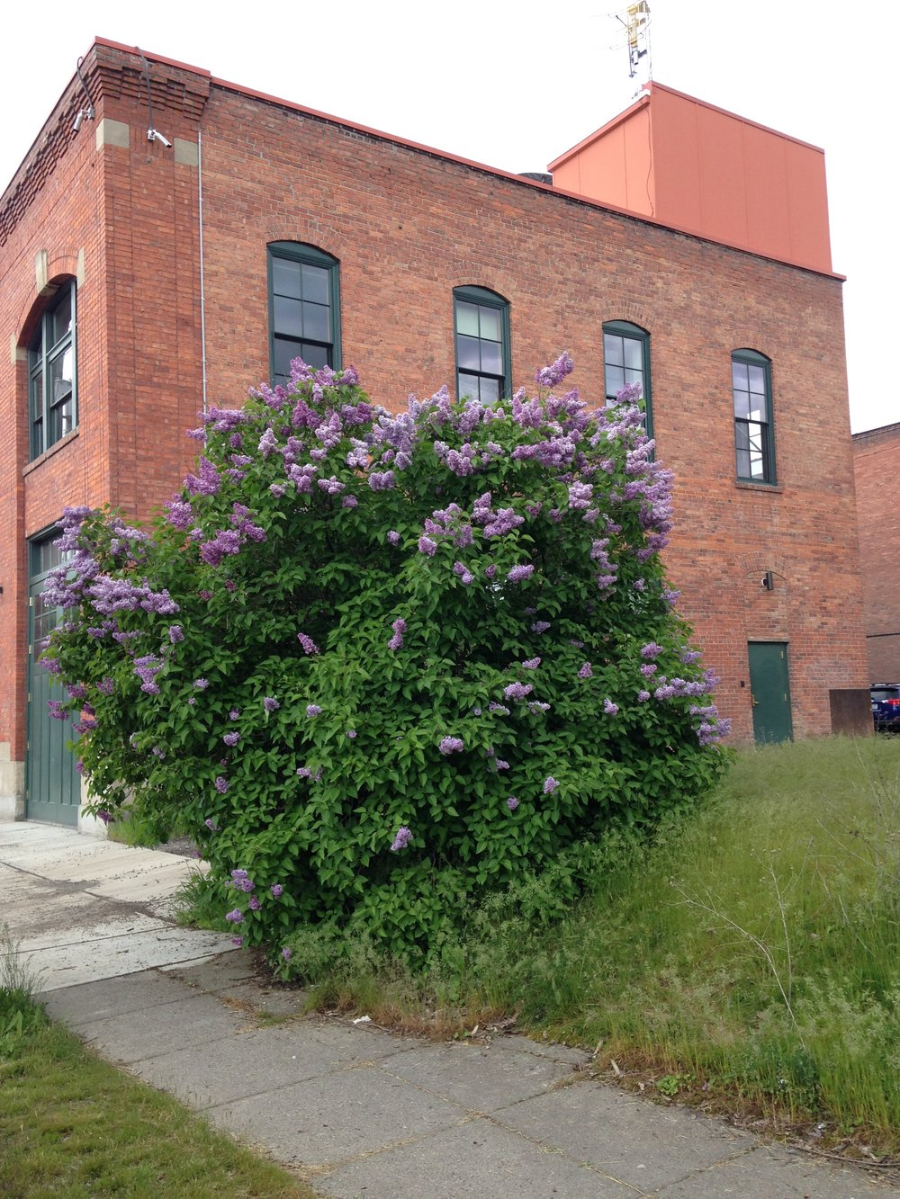 This lilac is across the street from Spokane Art Supply (a place I visit a lot!) and behind the Spokane Public Radio station.