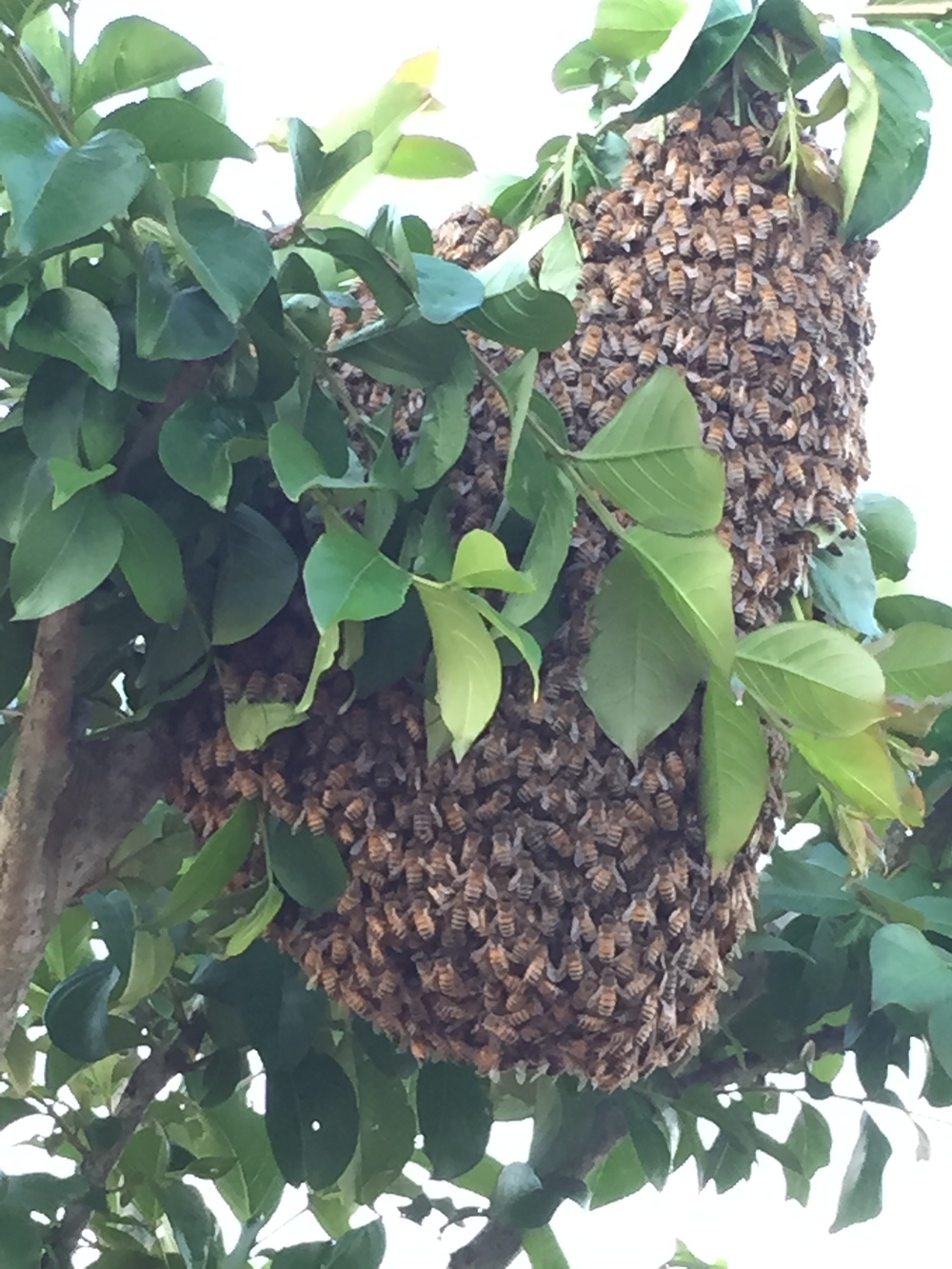 Cluster of honeybees