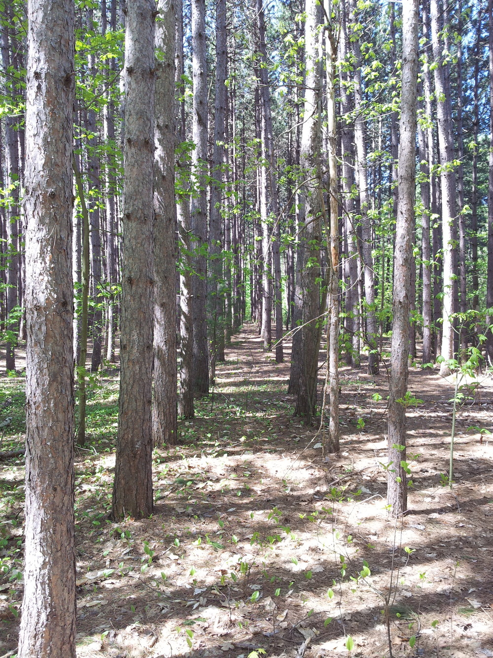 Replanted Canadian forest. So orderly! (Muskoka, 2013)
