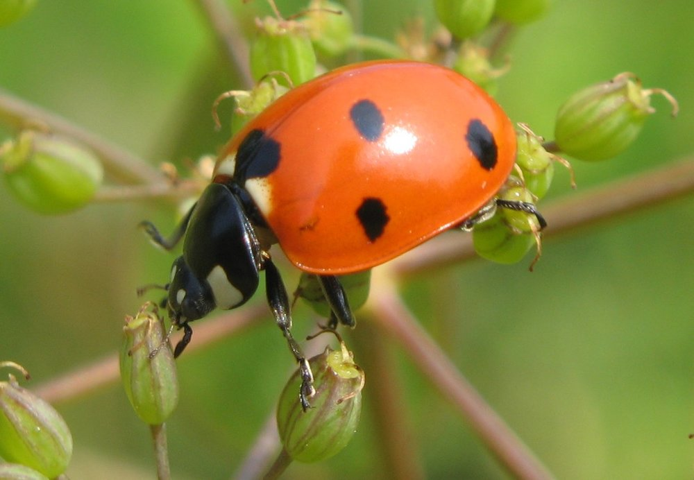 Lady-beetle Close-Up by Thomas Moertel, from Wikimedia Commons