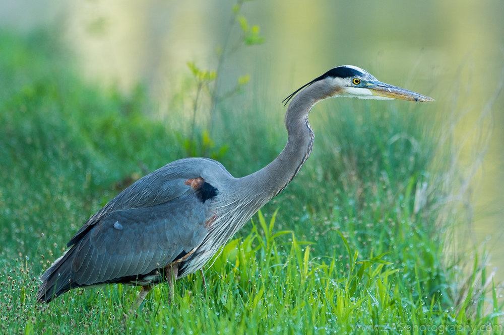 Blue Heron, Plano TX.