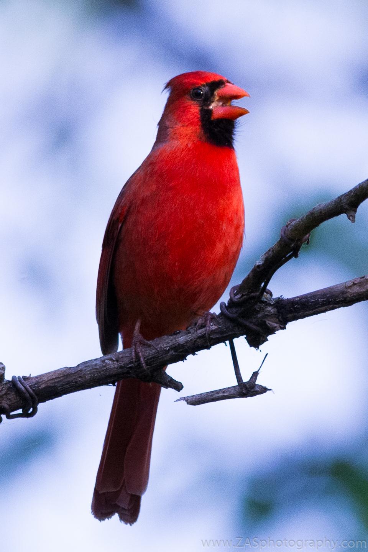 Cardinal, Breckenridge park TX.