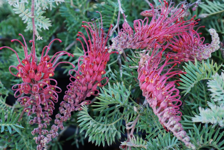 grevillea-pick-o-the-crop-1.jpg