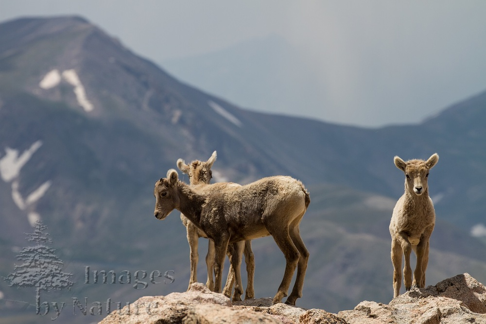 Animal_Sheep_Bighorn_MtEvans_CO_031.jpg