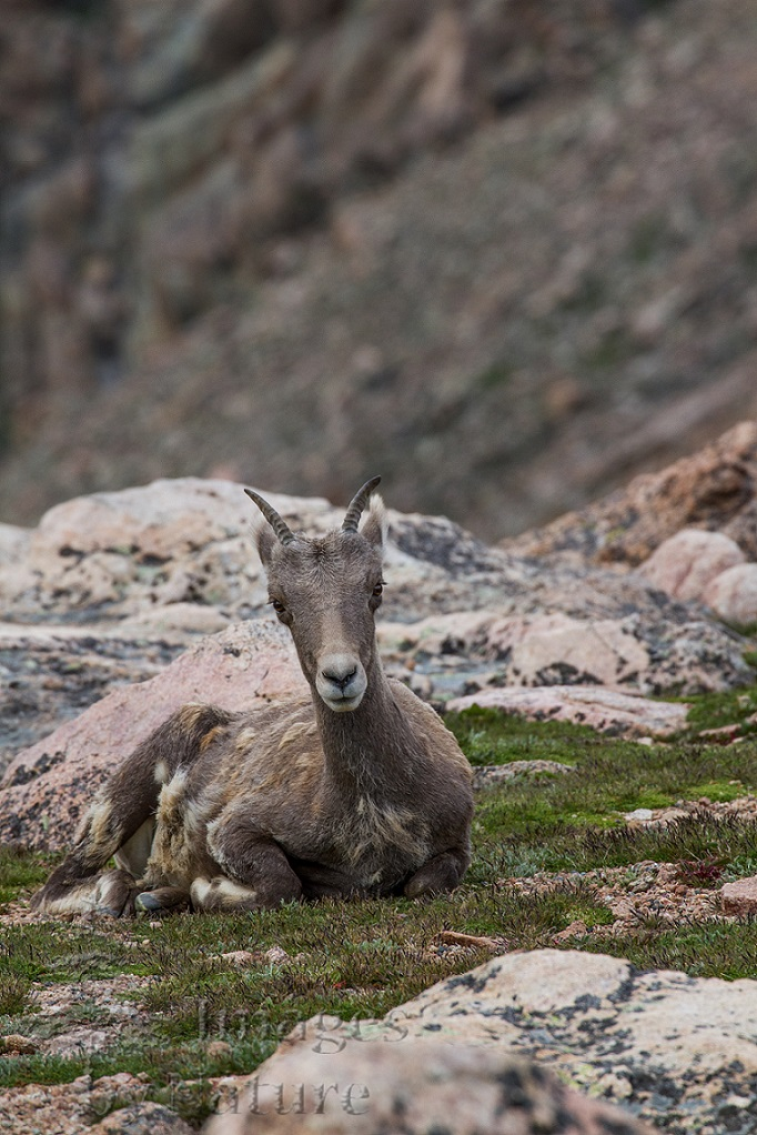 Animal_Sheep_Bighorn_MtEvans_CO_033.jpg