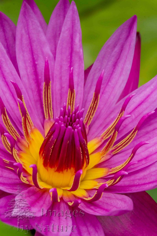 Flower_WaterLily_JackWood_WatersEdge_CO_07.jpg
