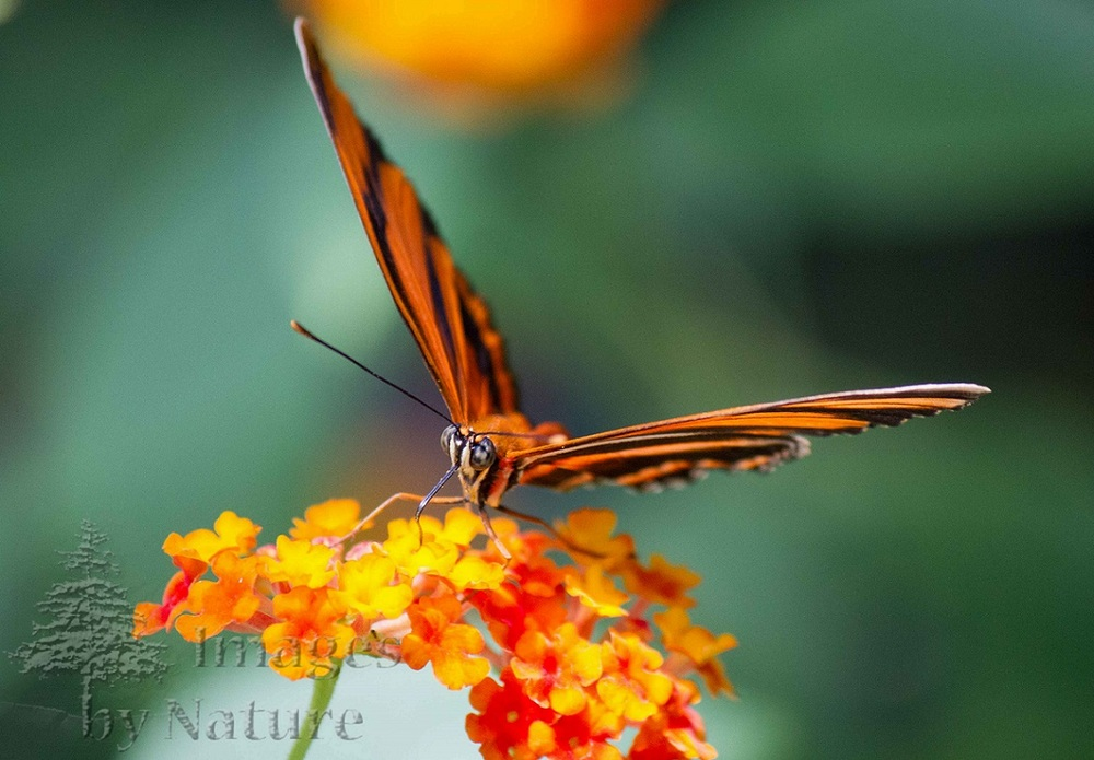Butterfly_BandedOrange_ButterflyPavillion_Westminster_CO_03-Edit.jpg