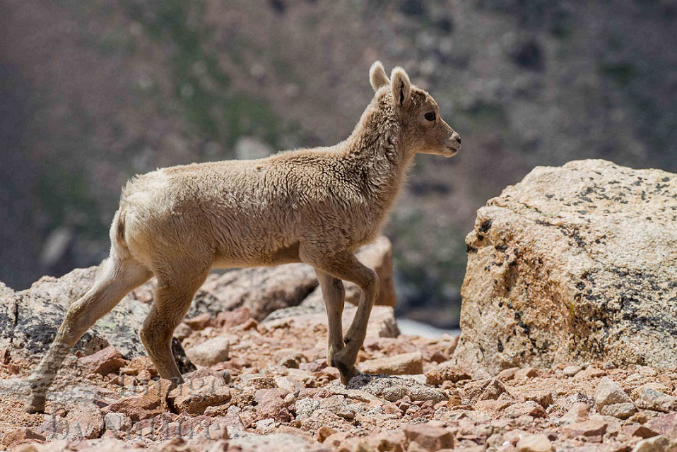 Animal_Sheep_Bighorn_MtEvans_CO_018-Edit.jpg