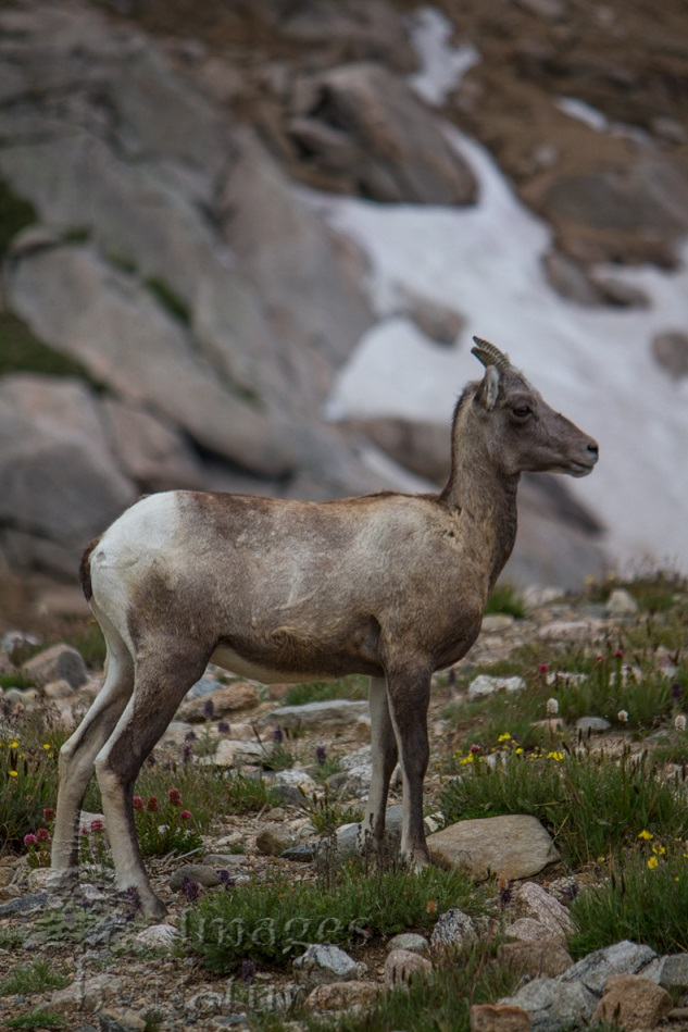 Animal_Sheep_Bighorn_MtEvans_CO_014-Edit.jpg