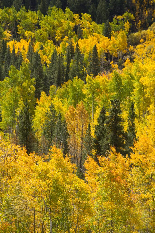 Landscape_Tree_Aspens_Fall_MtBelford_CO_01-Edit.jpg