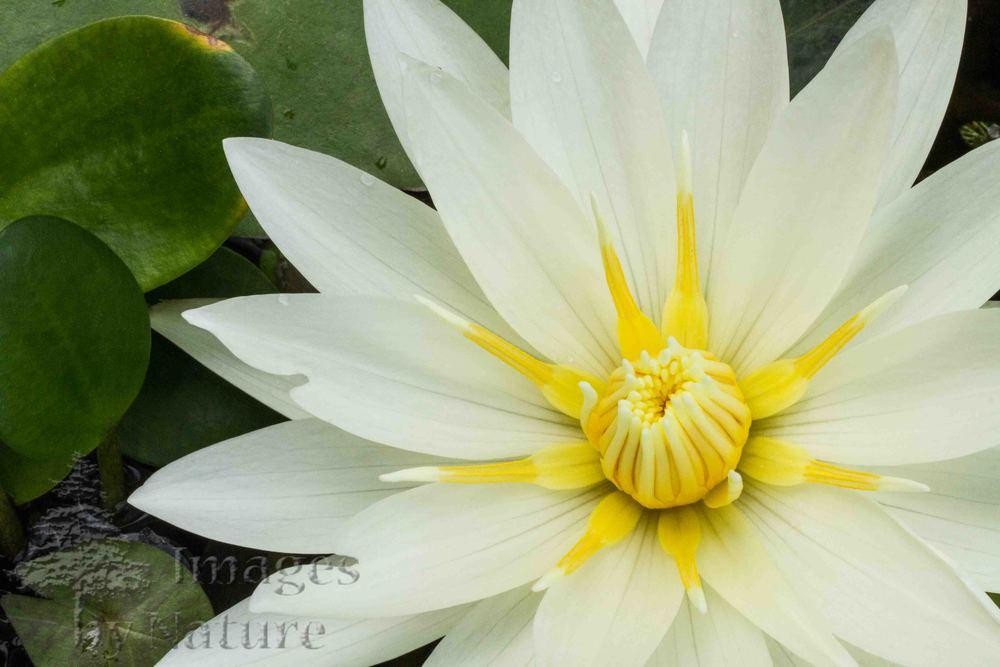 Flower_WaterLily_WhiteDelight_WatersEdge_CO_01-.jpg