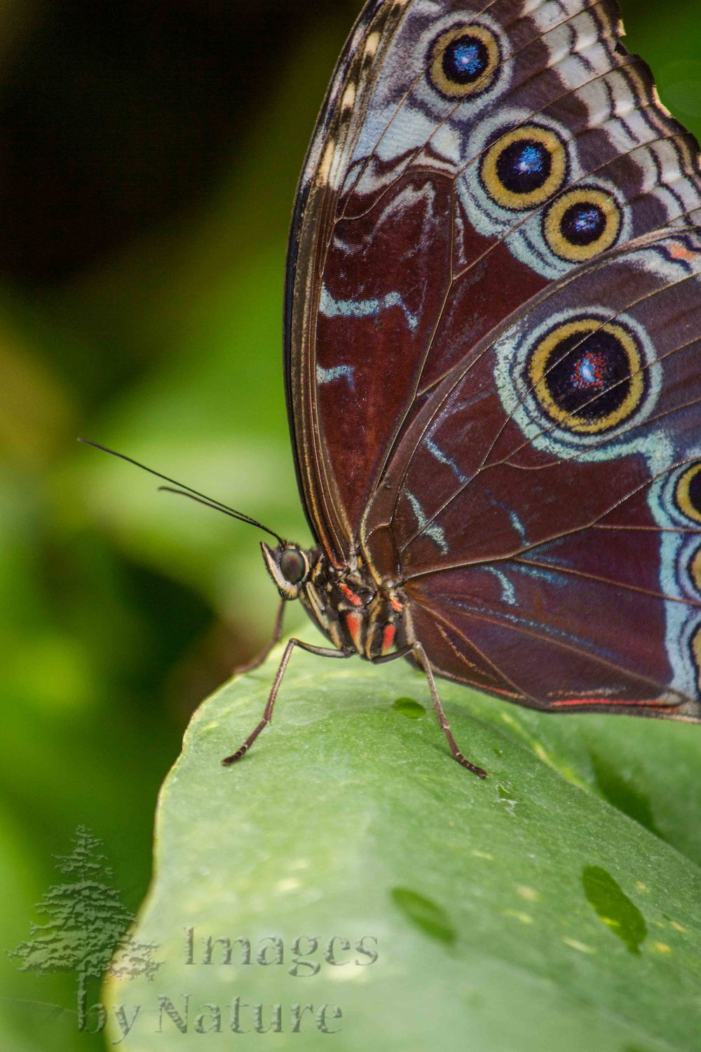 Butterfly_BlueMorpho_ButterflyPavillion_Westminster_CO_05-Edit.jpg
