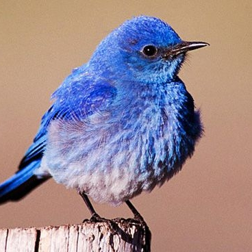Mountain Blue Bird.jpg