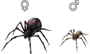 Male and Female Black Widow Spider.jpg