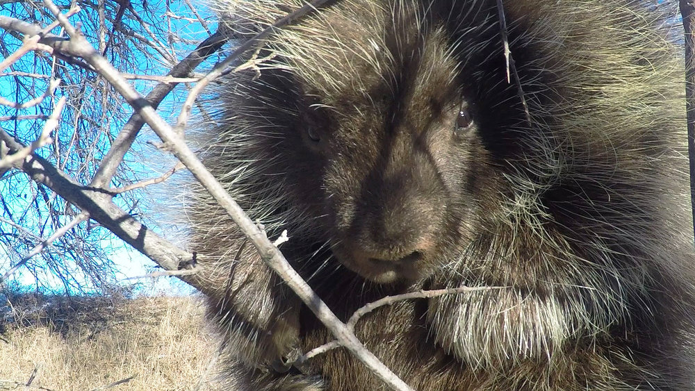 Porcupine by Rick Andrews