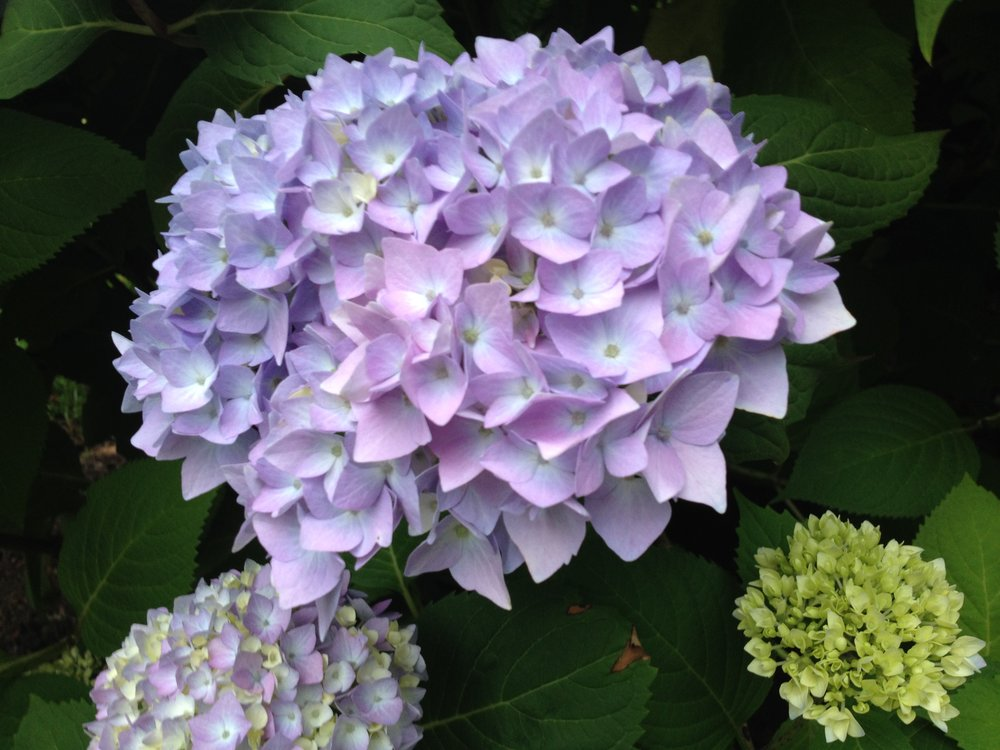 Neighborhood hydrangea--noticing the beauty of nature contributes to my happiness.