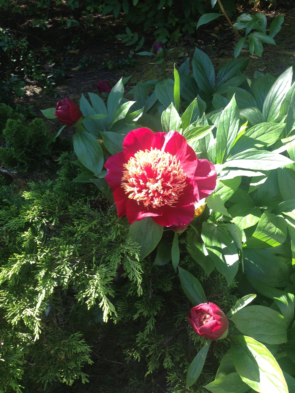 Peony-teaching me about the beauty of being open to the journey.