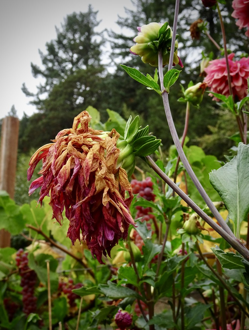 Season's end dahlia alongside fresher blossoms. There is no discomfort in nature between endings, middles and ends. Photo by Anne Richardson, 9-29-18. Yamhill, OR