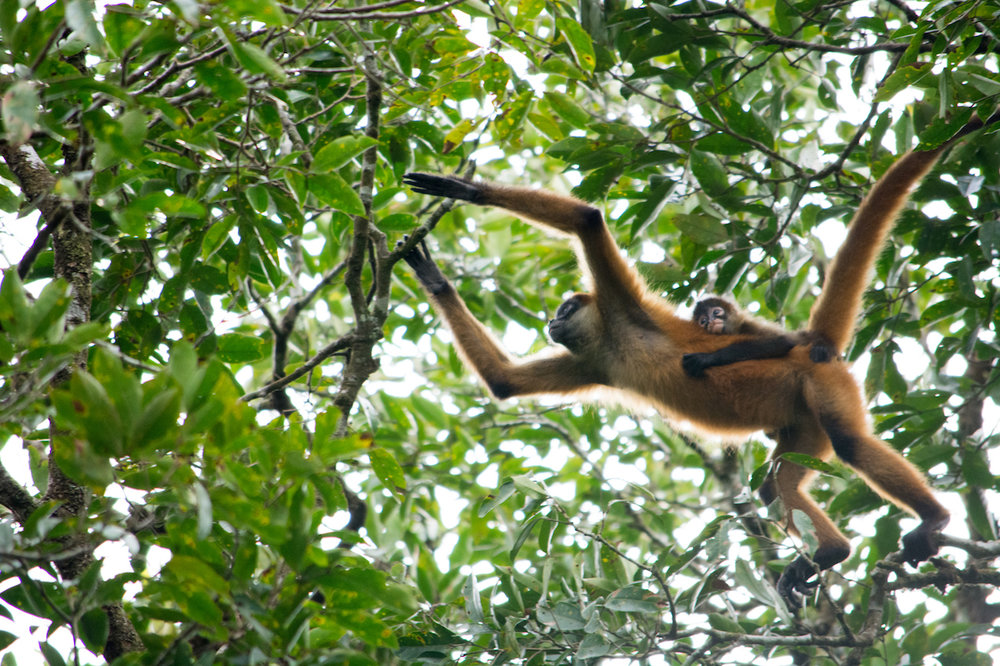 Costa Rica - Spider Monkeys