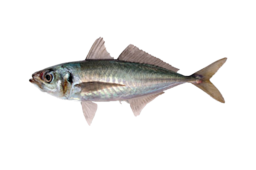 JACK / HORSE MACKEREL
