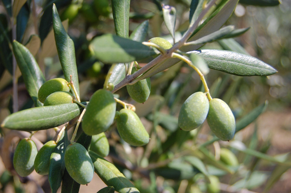 olive branch italy