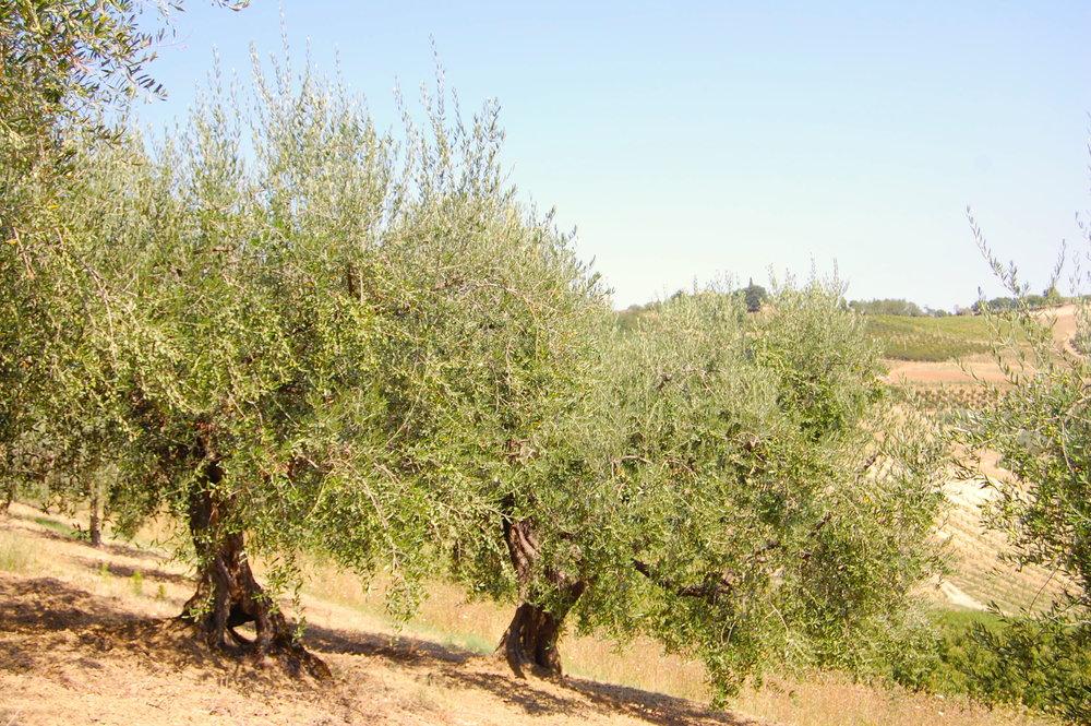 olivegroveitaly