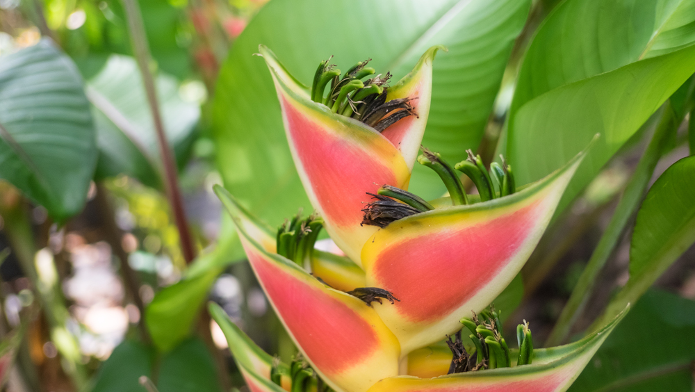 """Heliconia """"Lobster Claw"""""""