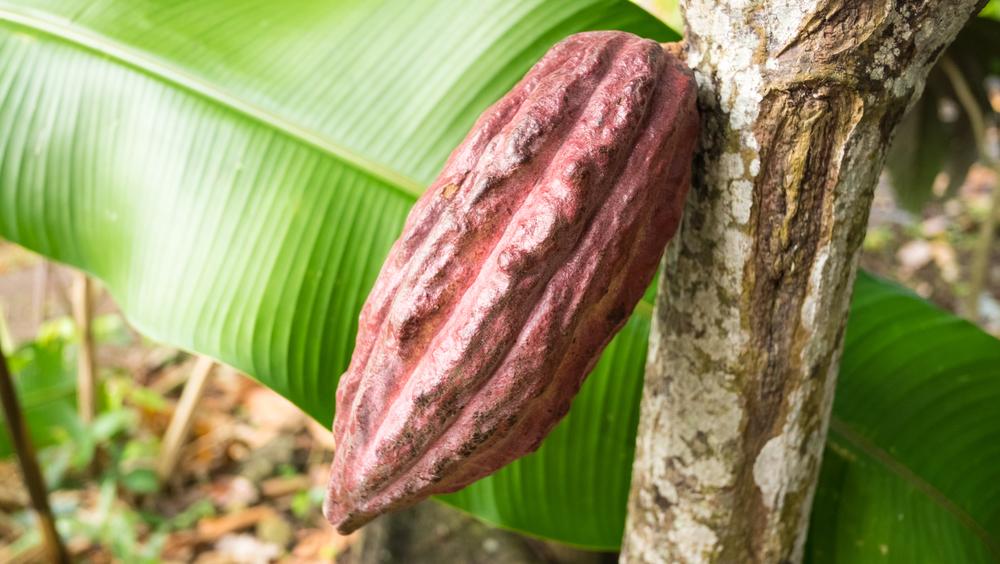Unripened cocoa bean