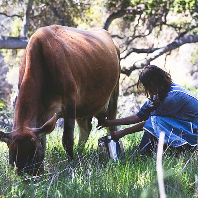 In case you missed it, see Lauren's interview with @thechalkboardmag  on 5 things city girls might not know.  Link in profile. 📷 @brittanyesmith . . . . . . . #milking #happycow #jersey #chalkboardmag #womensheritage