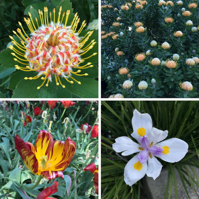 Flowers seen in Sydney, including a tulip from the Royal Botanic Gardens famous Spring Walk