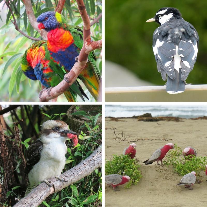 Rainbow Lorikeet, Magpie, Kookaburra (w/meat snack) and Galahs at the beach