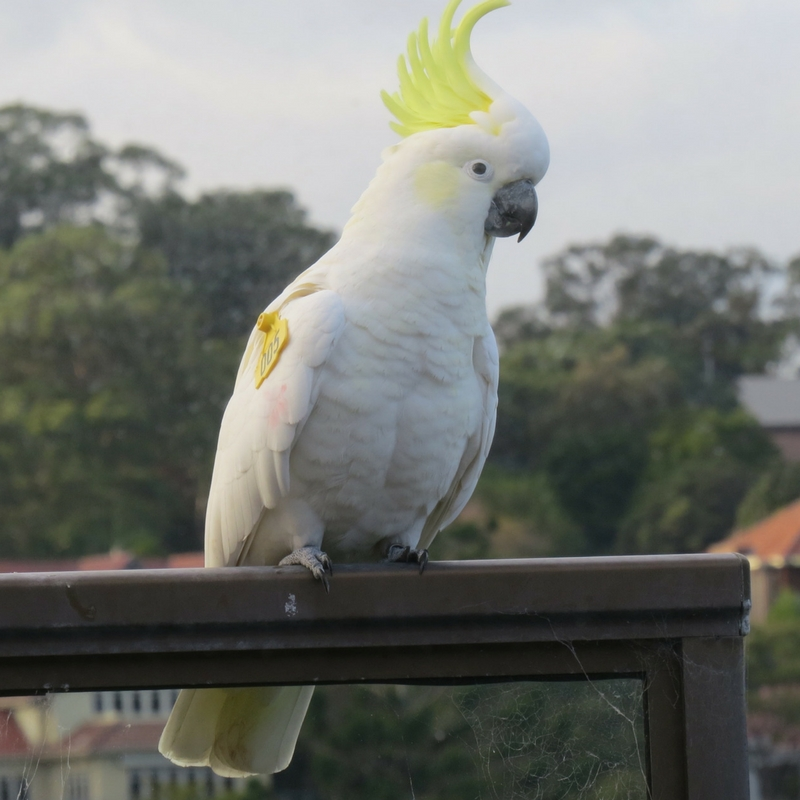 This is Pina Colada, one of the birds in the study right outside our home
