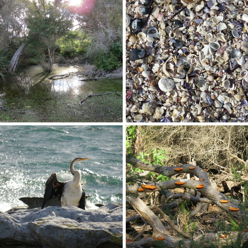 Water, shells, Pied Cormorant and bright orange mushrooms