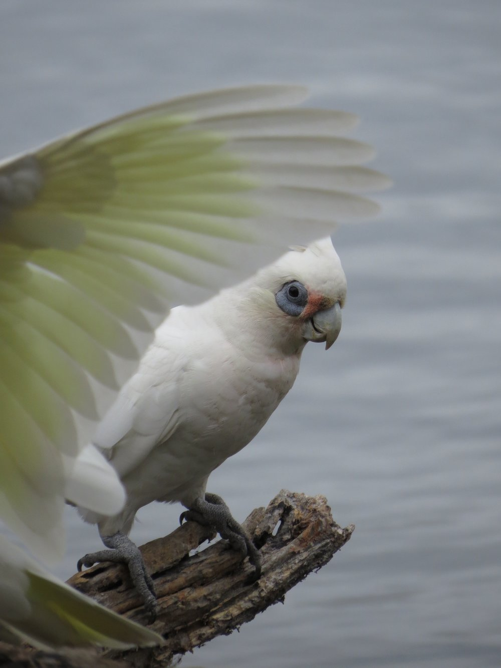 A Corella peeking out from behind a wing
