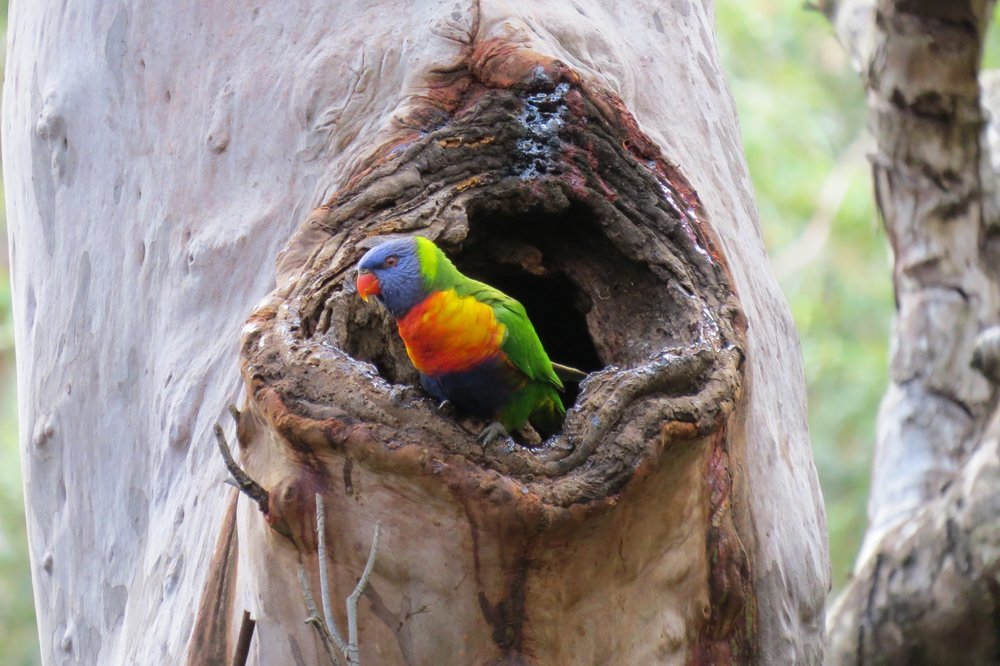Rainbow Lorikeet in hollow by Outer Island